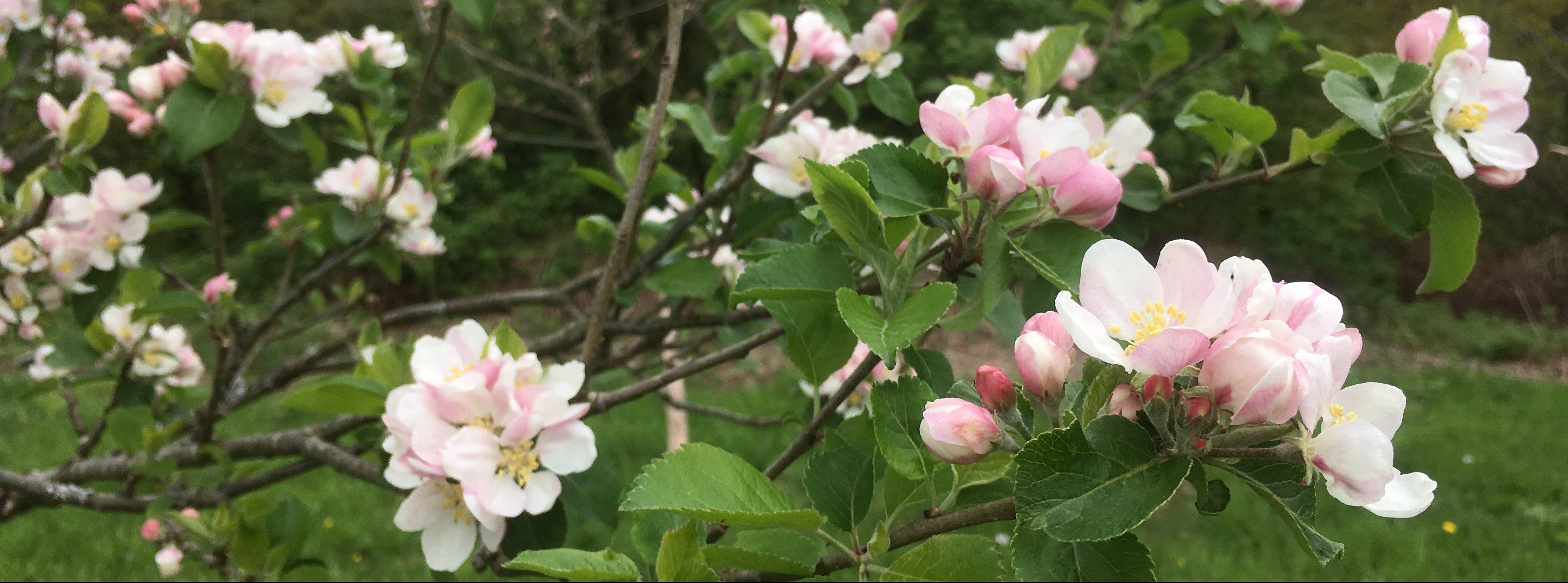 Apple tree in Gardd Sadwrn market garden